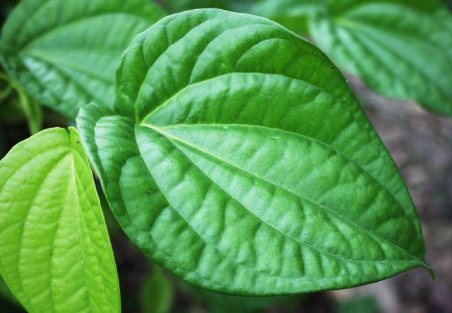 Cách chữa bệnh eczema bằng lá trầu