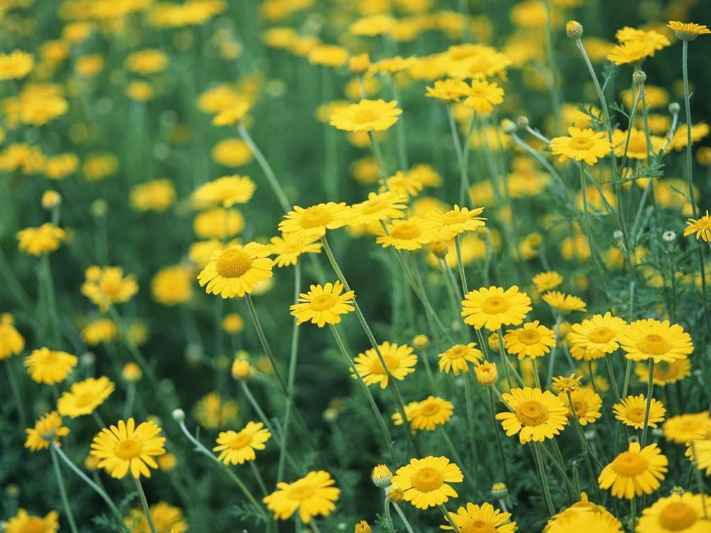 Hoa cúc dại - Vị thuốc chữa bệnh nấm da đầu thần kì