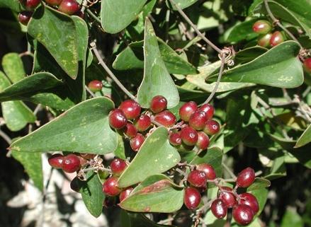 Bài thuốc chữa vảy nến từ cây thổ phục linh